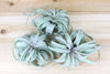 Sale: 50% Off [3 or 6] Medium Tillandsia Xerographica Air Plants | Curly & 5-7 Inches Wide