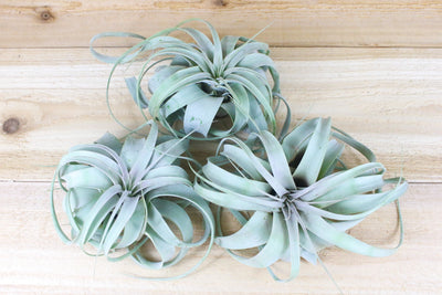 Sale: 50% Off [3 or 6] Large Tillandsia Xerographica Air Plants | 6-8 Inches Wide from AirPlantShop.com