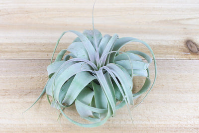 Tillandsia Xerographica - Large Size: 6 to 9 Inches Wide - The Queen of Air Plants [Single Plant] from AirPlantShop.com