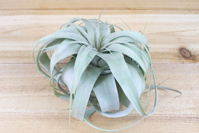Medium Tillandsia Xerographica +1 Year Supply of Air Plant Fertilizer from AirPlantShop.com