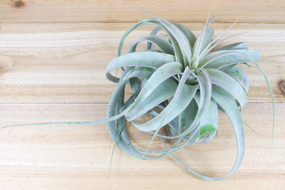 Sale: 3 for $30 for Limited Time | Medium Tillandsia Xerographica Air Plants | 5-7 Inches Wide from AirPlantShop.com