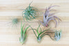 [6 Pack] Air Plant Grab Bag of Small & Medium Tillandsia