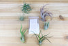[6 Pack + Fertilizer] Air Plant Grab Bag of Small & Medium Plants & Tillandsia Fertilizer