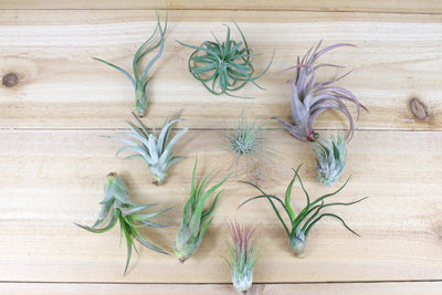 Sale: 25% Off [10 Pack] Grab Bag of Air Plants + Fertilizer Packet from AirPlantShop.com