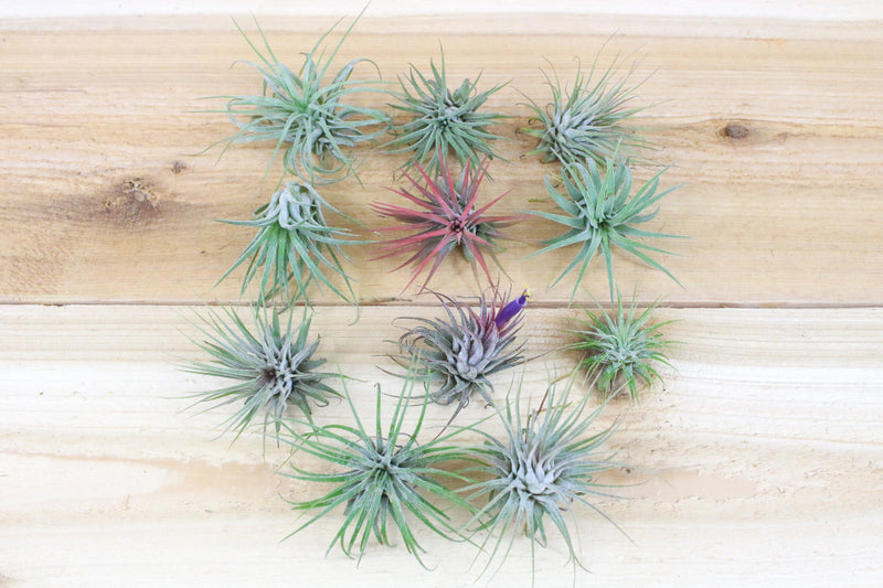 Wholesale: Tillandsia Ionantha Guatemala Air Plants [Min Order 12]