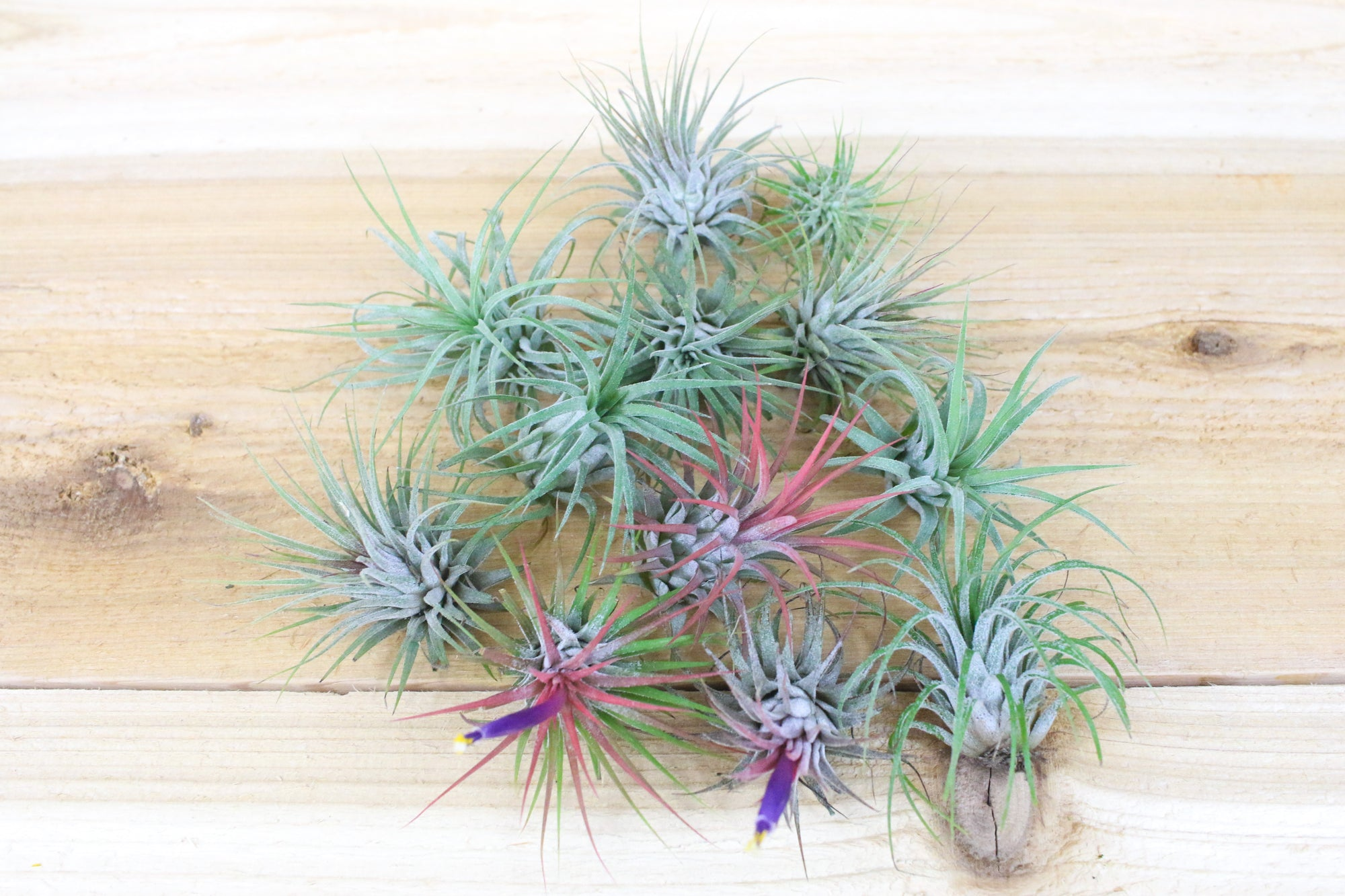 Sale: 55% Off [10, 20 or 30 Pack] Tiny Tilly Ionantha Collection from AirPlantShop.com