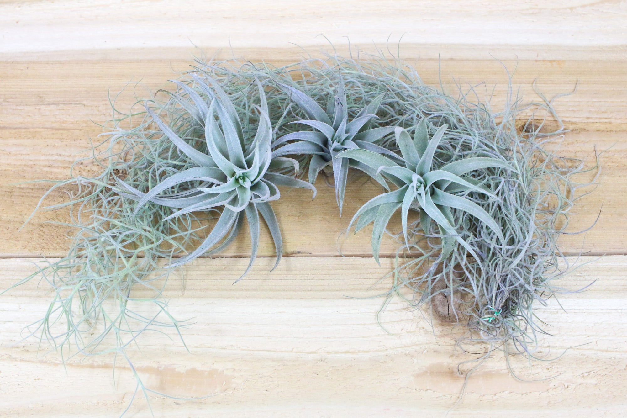 Sale: 25% Off [3 Pack with Moss] Harrisii Air Plants on Bed of Spanish Moss