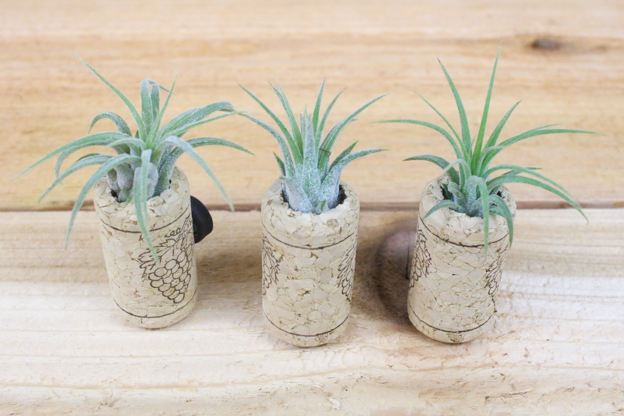 Wine Cork Planters with Air Plants - Set of three with magnets