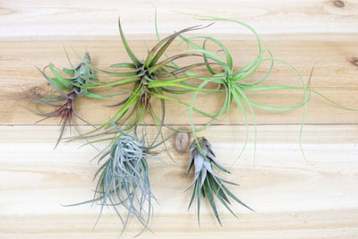 [5 Pack] Collector's Choice - Collection of 5 Specialty Variety Tillandsia from AirPlantShop.com