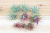 [9 Pack] Tillandsia Ionantha Air Plant Collection - 3 Mexican, 3 Guatemalan & 3 Fuego Air Plants