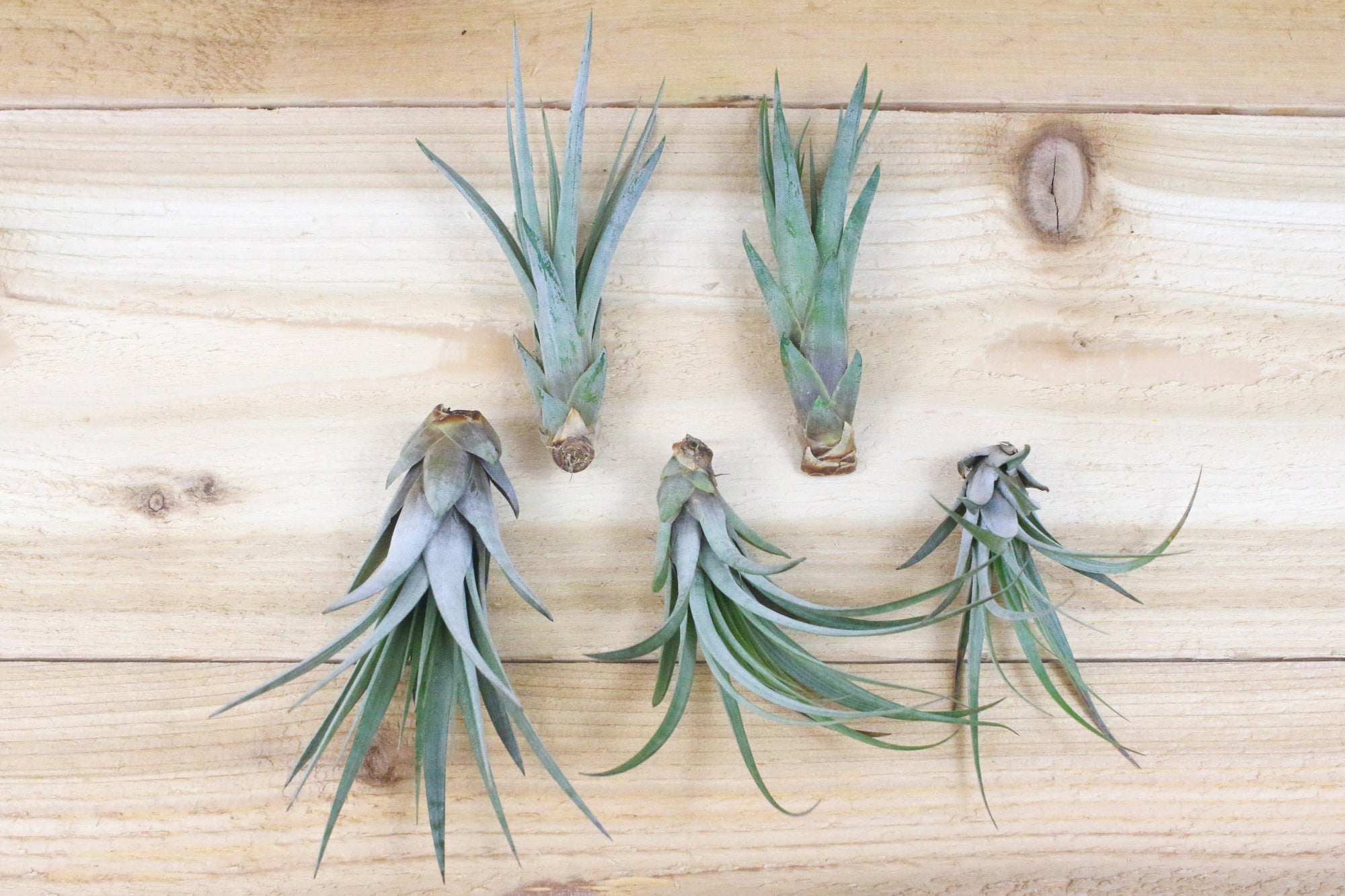 [5 Pack] Large Tillandsia Fasciculata Tricolor 'Golden Torch' Air Plants / 6-9 Inch Plants from AirPlantShop.com