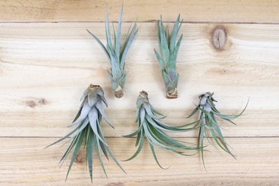 [5 Pack] Large Tillandsia Fasciculata Tricolor 'Golden Torch' Air Plants / 6-9 Inch Plants