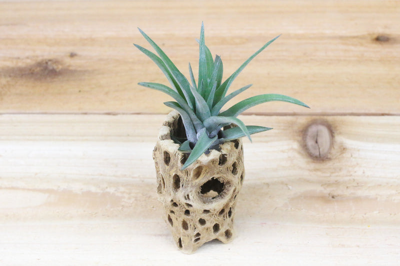 Wholesale: 3 Inch Tall Cholla Wood Containers with Custom Tillandsia Air Plant [Min Order 12]