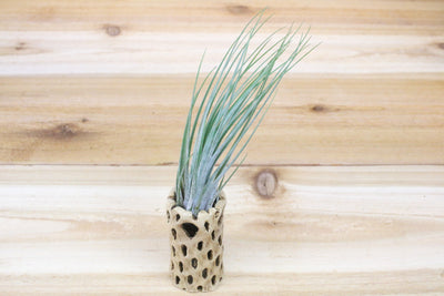 Cholla Wood Containers with Custom Tillandsia Air Plant [6 Inches Tall] from AirPlantShop.com