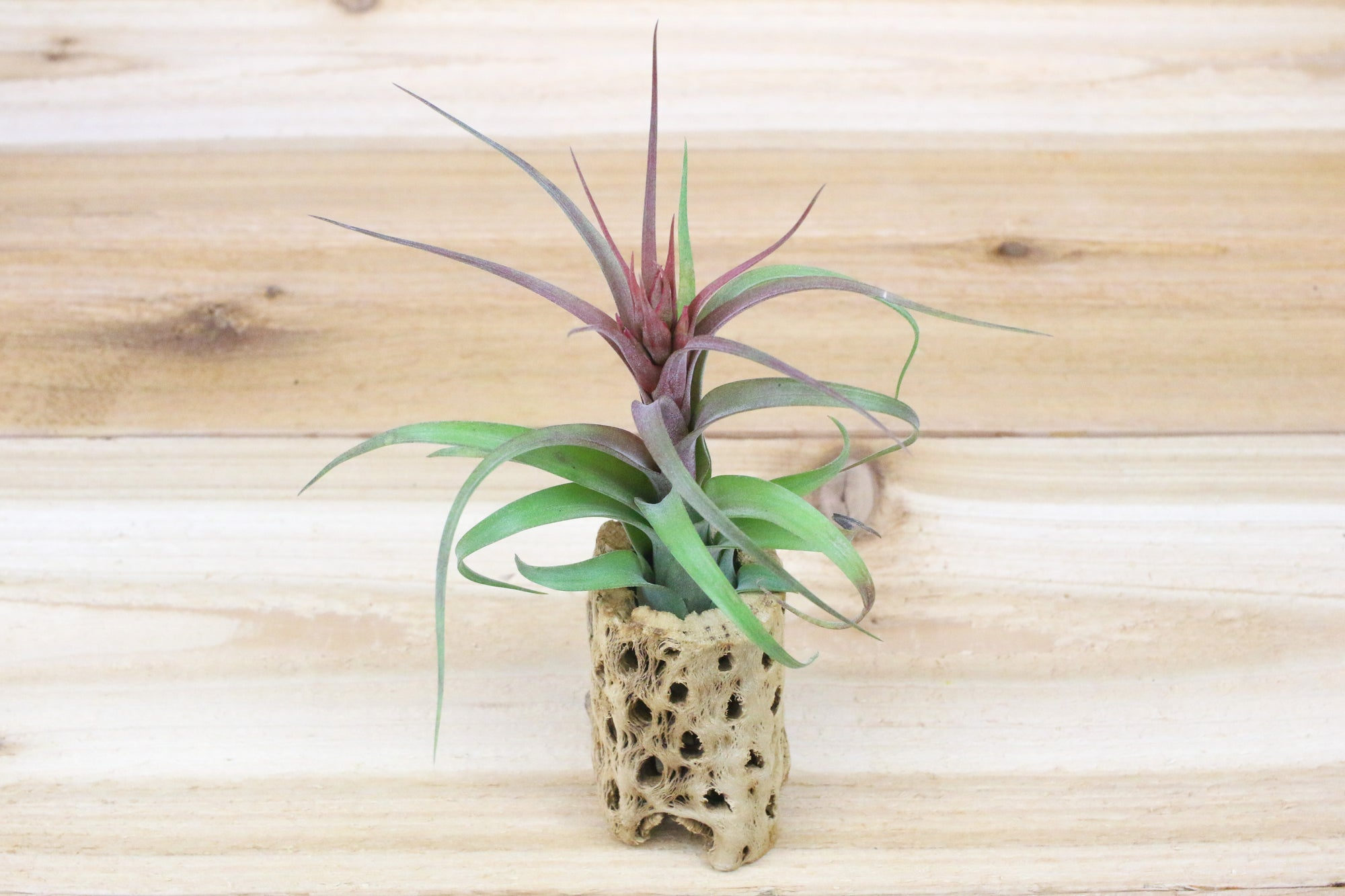 Wholesale: 6 Inch Tall Cholla Wood Containers with Assorted Air Plants [Min Order 12] from AirPlantShop.com
