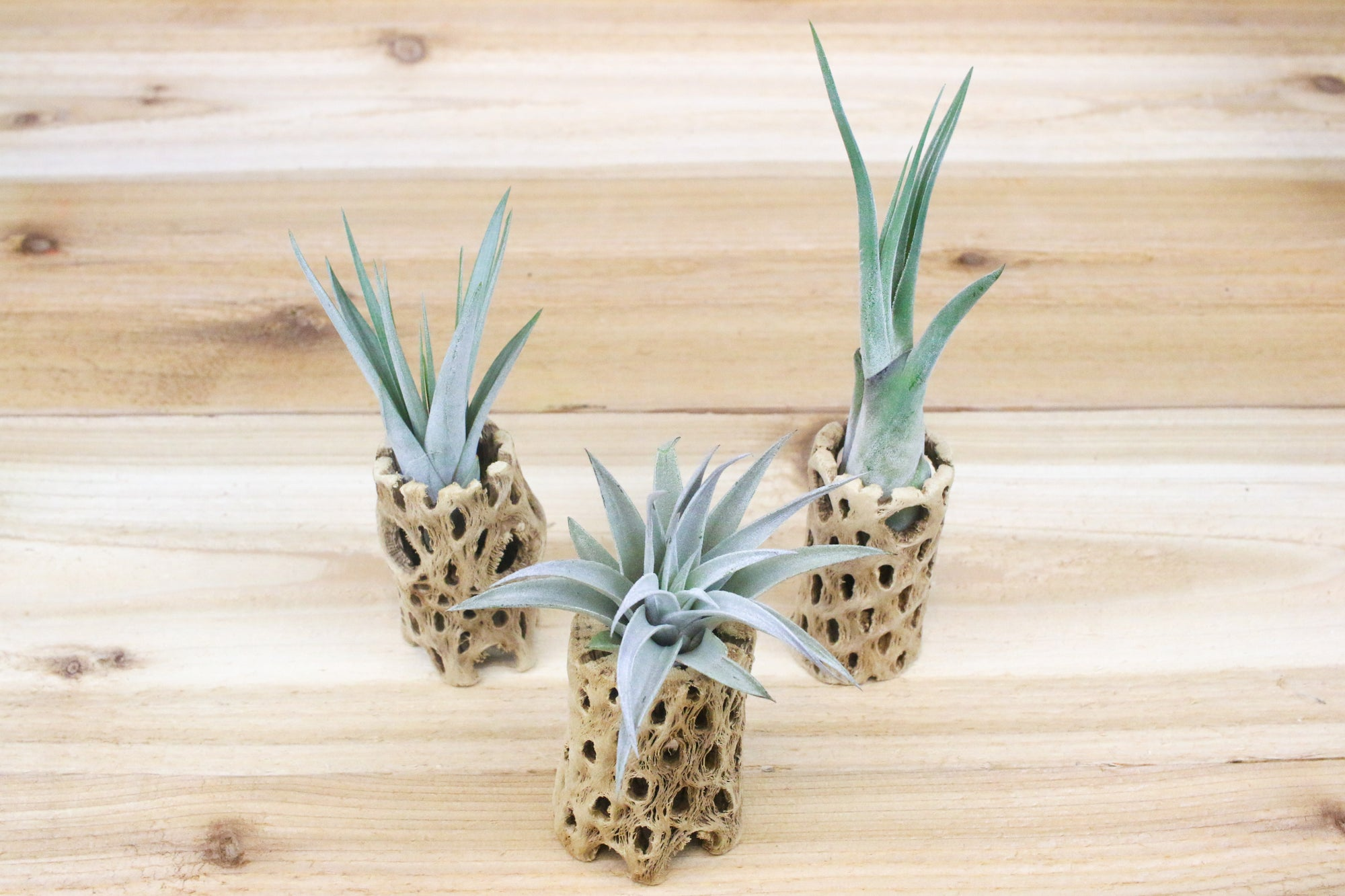 Trio of Cholla Wood Containers with Tillandsia Air Plants [3 Inches Tall]