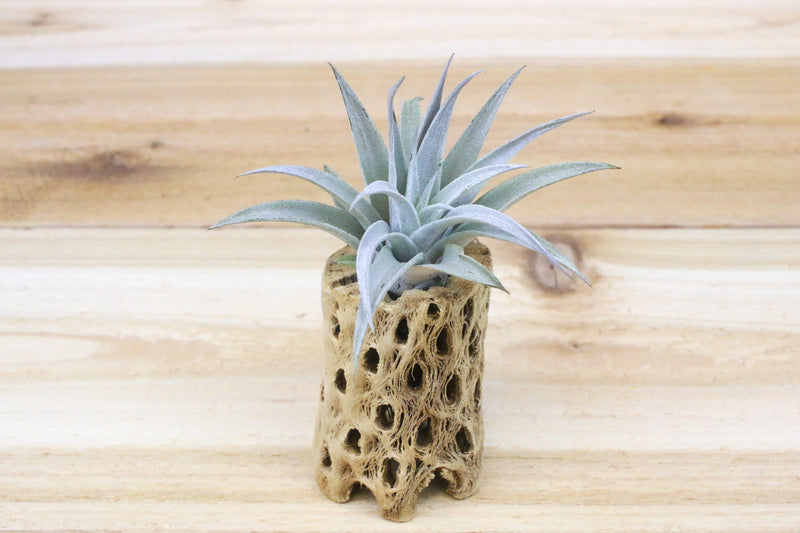 Wholesale: 3 Inch Tall Cholla Wood Containers with Assorted Air Plants [Min Order 12] from AirPlantShop.com