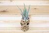 Wholesale: 6 Inch Tall Cholla Wood Containers with Custom Tillandsia Air Plant [Min Order 12] from AirPlantShop.com