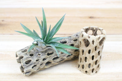 Trio of Cholla Wood Containers with Custom Tillandsia Air Plants [6 Inches Tall] from AirPlantShop.com
