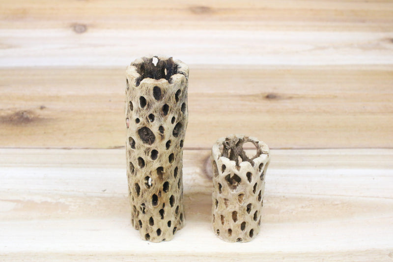 Cholla Wood Container [3 Inches Tall] from AirPlantShop.com