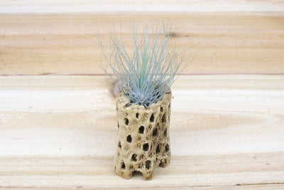 Cholla Wood Containers with Custom Tillandsia Air Plant [3 Inches Tall] from AirPlantShop.com