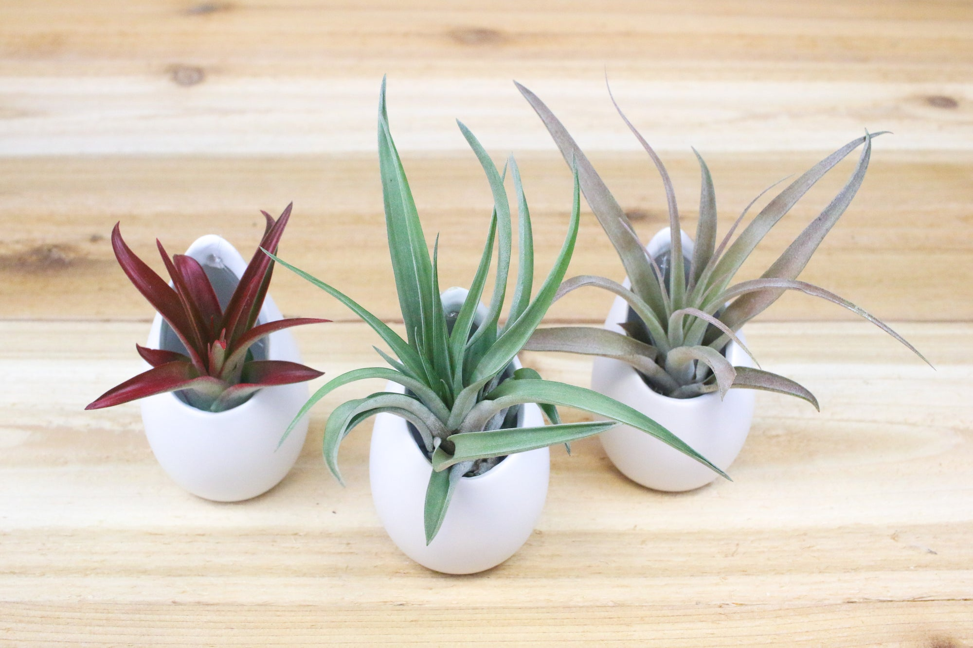 Trio of Small Hanging Ivory Ceramic Container with Air Plants from AirPlantShop.com