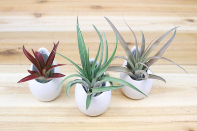 Trio of Small Hanging Ivory Ceramic Container with Custom Air Plants