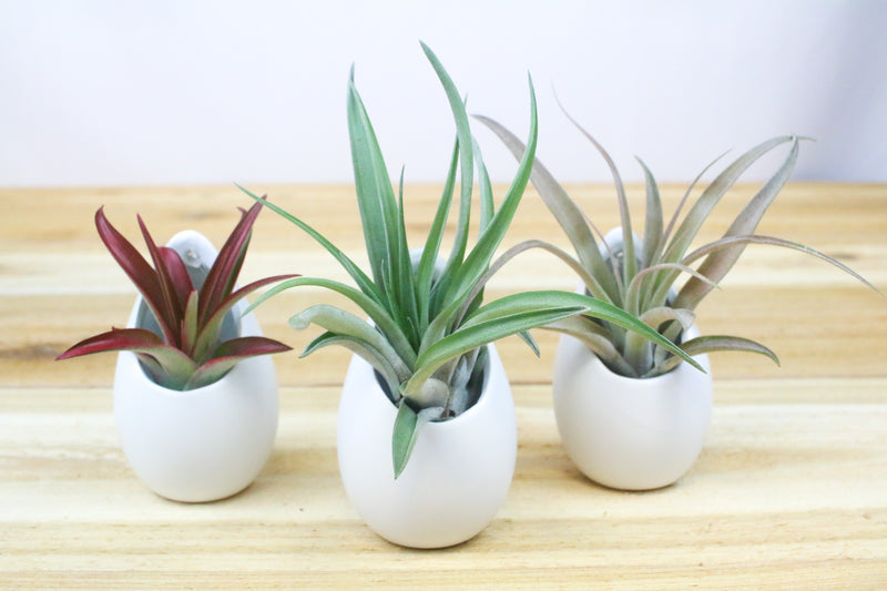 Trio of Small Hanging Ivory Ceramic Container with Custom Air Plants from AirPlantShop.com
