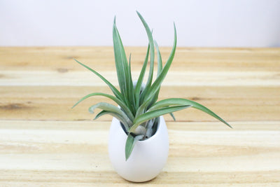 Small Hanging Ivory Ceramic Container with Custom Tillandsia Air Plant