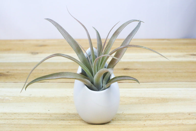 Small Hanging Ivory Ceramic Container with Custom Tillandsia Air Plant from AirPlantShop.com