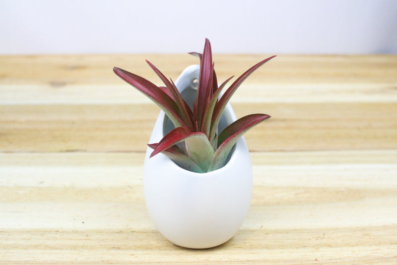 Wholesale: Small Hanging Ivory Ceramic Container with Custom Tillandsia Air Plant [Min Order 12]