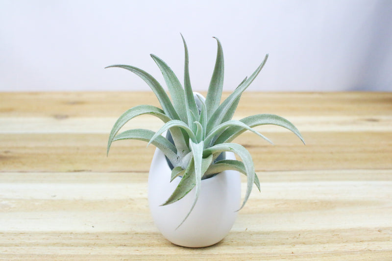 Wholesale: Large Hanging Ivory Ceramic Container with Custom Tillandsia Air Plant [Min Order 12]