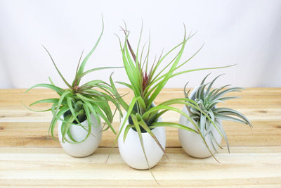 Trio of Large Hanging Ivory Ceramic Container with Custom Air Plants from AirPlantShop.com