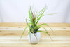 Large Hanging Ivory Ceramic Container with Custom Tillandsia Air Plant