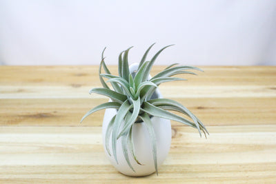 Wholesale: Small Hanging Ivory Ceramic Container with Custom Tillandsia Air Plant [Min Order 12] from AirPlantShop.com