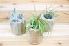 Trio of Driftwood Containers with Custom Air Plants from AirPlantShop.com