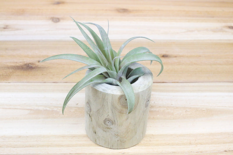 Wholesale: Large Driftwood Container with Custom Tillandsia Air Plant [Min Order 12]