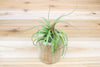 Driftwood Container with Custom Tillandsia Air Plant