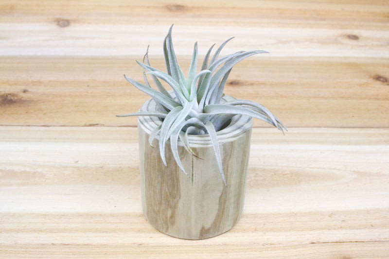 Trio of Large Driftwood Containers with Air Plants from AirPlantShop.com