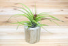 Wholesale: Driftwood Container with Custom Tillandsia Air Plant [Min Order 12]