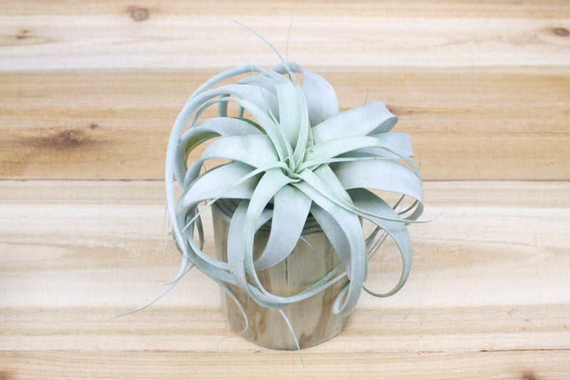 Large Driftwood Container with Custom Tillandsia Air Plant