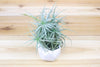 Tillandsia Palacea X Tectorum 'Sweet Isabel' Air Plant Clump from AirPlantShop.com