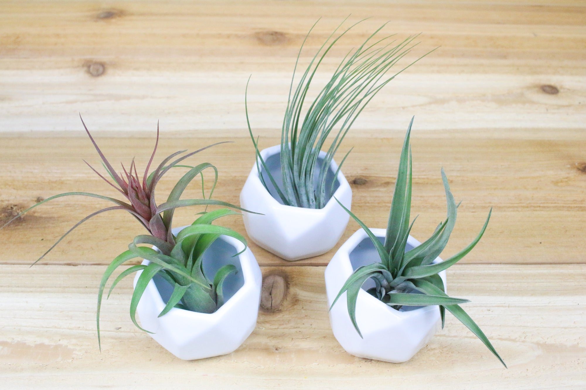 Trio of White Geometric Ceramic Container with Custom Tillandsia Air Plants