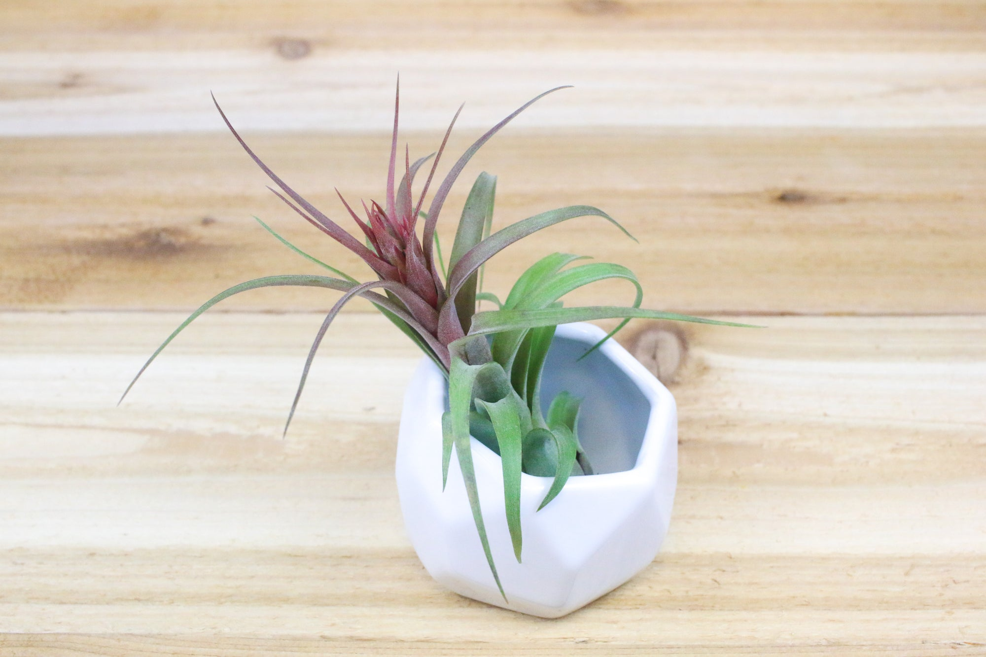 Wholesale: White Geometric Ceramic Container with Custom Tillandsia Air Plant [Min Order 12]