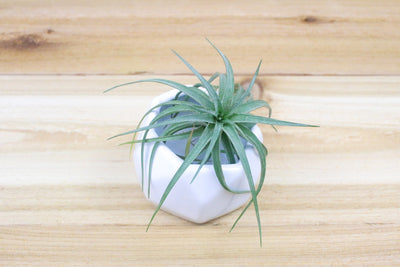 Wholesale: White Geometric Ceramic Container with Assorted Air Plants [Min Order 12]