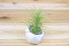 Tillandsia Bergeri Air Plants - Collector's Variety Tillandsia [Single Plant] from AirPlantShop.com
