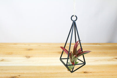 Wholesale: Hanging Geometric Metal Pendant with Assorted Air Plants [Min Order 12] from AirPlantShop.com