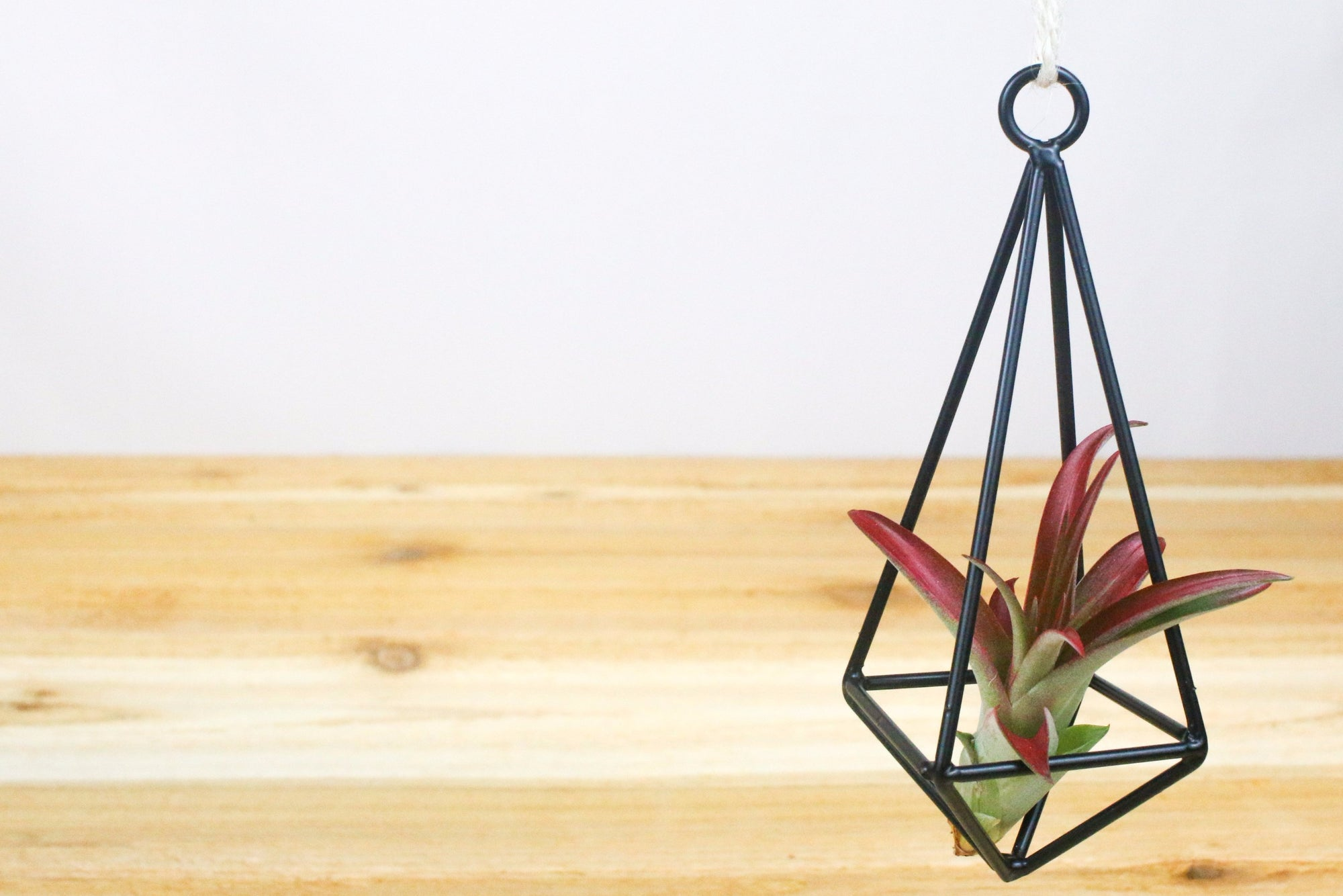 Sale: 40% Off [6 or 12 Pack] Hanging Metal Pendants with Assorted Air Plants from AirPlantShop.com