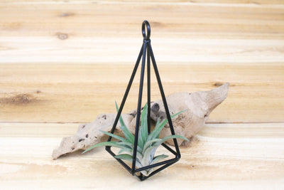 Hanging Geometric Metal Pendant with Custom Air Plants from AirPlantShop.com