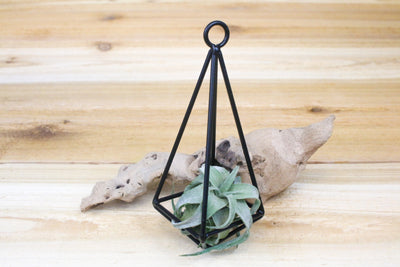 Sale: 40% Off [6 or 12 Pack] Hanging Geometric Metal Pendants with Assorted Air Plants from AirPlantShop.com